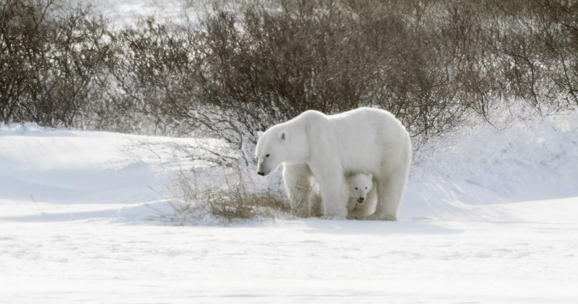 Canada Goose Basecamp trip to Churchill for Polar Bear Week
